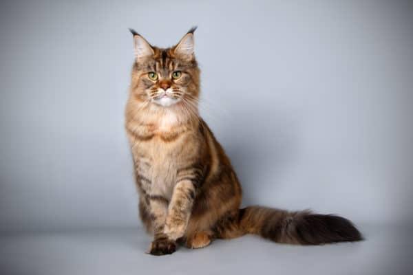 世界一高い猫(値段付き)ベスト12!高価な猫様を拝み倒す