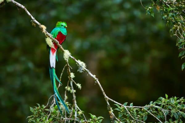 ケツァール|火の鳥!コスタリカやグアテマラに棲むかわいい鳥