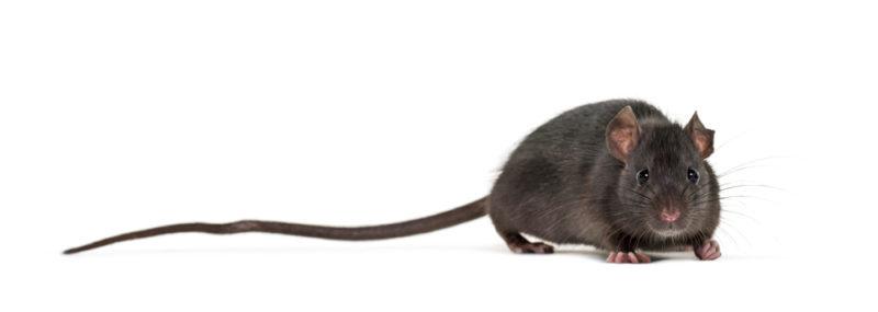 クマネズミの画像 p1_33
