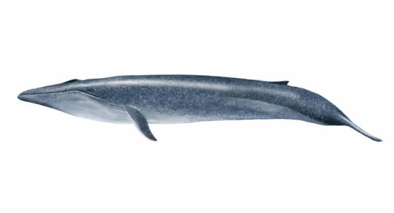 さ 大き シロ ナガスクジラ シロナガスクジラとマッコウクジラの大きさの比較!