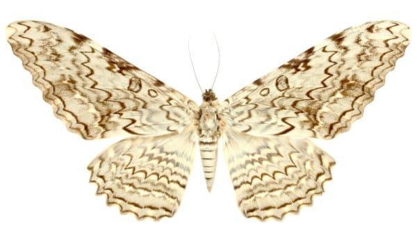 世界一大きい蛾・世界一でかい蛾 世界最大の蛾トップ3   世界雑学ノート